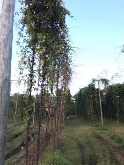 Plantação do lúpulo Mantiqueira