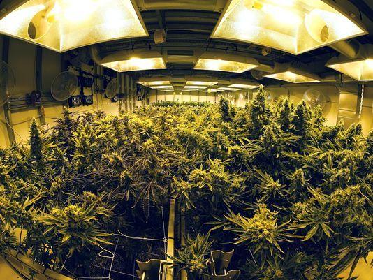 Plantação de cannabis da Medicine Man em Denver_trevor hughes_USA Today